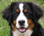 """Fritz"" the Burnese Mountain Dog"