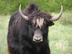 2006 Yak Photos